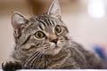Картинка портрет, взгляд, кошка, внимание