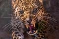 Картинка леопард, хищник, клыки, оскал, крупный план, морда