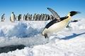 Картинка прыжок, Антарктида, пингвины, Императорский пингвин, снег, птицы