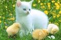 Картинка ромашки, полянка, цыплята, котёнок