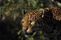 Картинка взгляд, морда, хищник, ягуар, дикая кошка