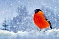 Картинка снегирь, перья, снег, Зима, птица