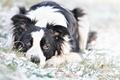 Картинка собака, лежит, портрет, взгляд, снег, обои от lolita777, зима, бордер-колли
