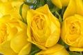 Картинка макро, розы, бутоны, жёлтые розы