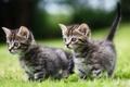 Картинка прогулка, малыши, котята, парочка, двойняшки