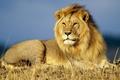 Картинка природа, лев, животные