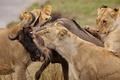 Картинка добыча, львы, антилопа, охота