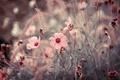 Картинка цветы, макро, розовые