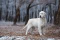 Картинка лес, лабрадор, милый, поздняя осень, листья, зима, золотистый ретривер, белый, золотистый, голден ретривер, ретривер, снег, ...