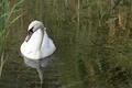 Картинка вода, озеро, птица, камыш, лебедь, Akela White