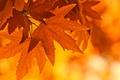 Картинка лист, ветка, свет, клен, осень, листья