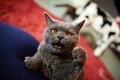 Картинка angry, catzilla, cat
