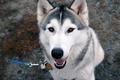 Картинка Собака, друг, хаски, глаза, поводок