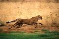 Картинка Гепард, бег, природа
