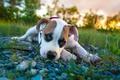 Картинка pitbull boxer mix, питбуль, щенок, взгляд, боксёр