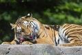 Картинка кошка, тигр, ест, хищник, амурский, мясо, ©Tambako The Jaguar