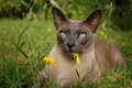 Картинка кошка, цветок, трава, взгляд, пёрышко, Тонкинская кошка