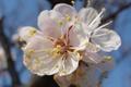 Картинка абрыкос, цветок, белый цветок