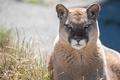 Картинка кугуар, хищник, горный лев, дикая кошка, пума