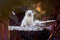 Картинка голубоглазые, кошки, рэгдолл, коляска, пара, пушистики, котята, милашки, бэбики, природа, фон, сиамские, пупсики, двое, мелкие