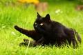 Картинка газон, лапы, кот, трава, лето, черный, зелень, поляна, природа, сад, желтоглазый, лежит, поза, взгляд, кошка