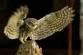 Картинка сыч, птица, природа