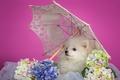 Картинка шпиц, белый, гортензия, щенок, зонтик