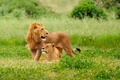 Картинка background, nature, lions