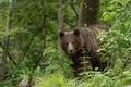Картинка взгляд, медведь, топтыгин, лес