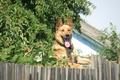Картинка собака, малина, забор, улица