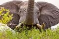 Картинка слон, уши, бивни, хобот