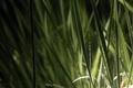Картинка роса, трава, вода, природа, капли