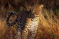 Картинка Леопард, взгляд, трава