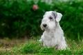 Картинка силихем-терьер, белый, трава, щенок