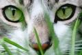 Картинка кошка, зеленые, трава, морда, глаза