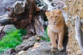 Картинка усы, взгляд, panthera leo, пень, lion, морда, скала, лев, камни