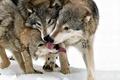 Картинка стая, волки, Волк