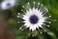 Картинка цветок, макро, фокус, лепестки, фиолетовые, белые, африканская, Маргаритка