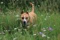 Картинка собаки, лето, цветы, настроение, отдых, собака, прогулка, стафортшиский терьер