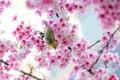 Картинка цветы, ветки, природа, дерево, птица, весна, сакура, розовые, Японская белоглазка