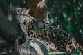 Картинка поза, пятна, хищник, дикая кошка, дымчатый леопард