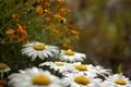 Картинка поле, капли, роса, ромашки, лепестки, луг