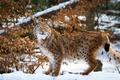 Картинка поза, хищник, снег, грация, зима, сухая листва, рысь, дикая кошка