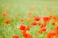 Картинка цветы, маки, поле, бутоны, красные