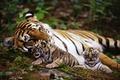 Картинка тигр, тигрята, обои, животные
