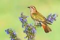 Картинка цветы, птица, ветка, кукушка