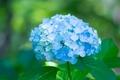 Картинка цветки, hydrangea, flowers, petals, пышность, blue, лепестки, гортензия, голубая, splendor
