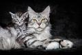 Картинка maine coon, кошка, фон, котёнок