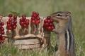 Картинка ягоды, корзина, бурундук