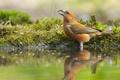 Картинка вода, отражение, птица, клёст, Клёст-еловик
